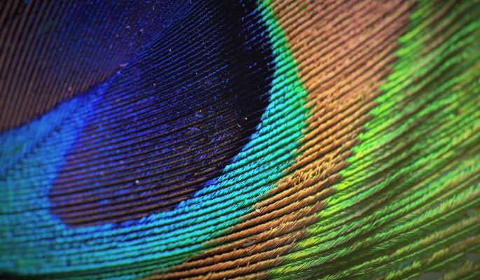 diversity and inclusion of peacock feather colors